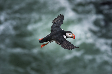 Iceland-17-D-17-06-09-5368-(puffin-flying).jpg