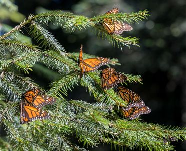 Monarchs-on-Oyamel-Pine-Tree,Mexico-02.jpg