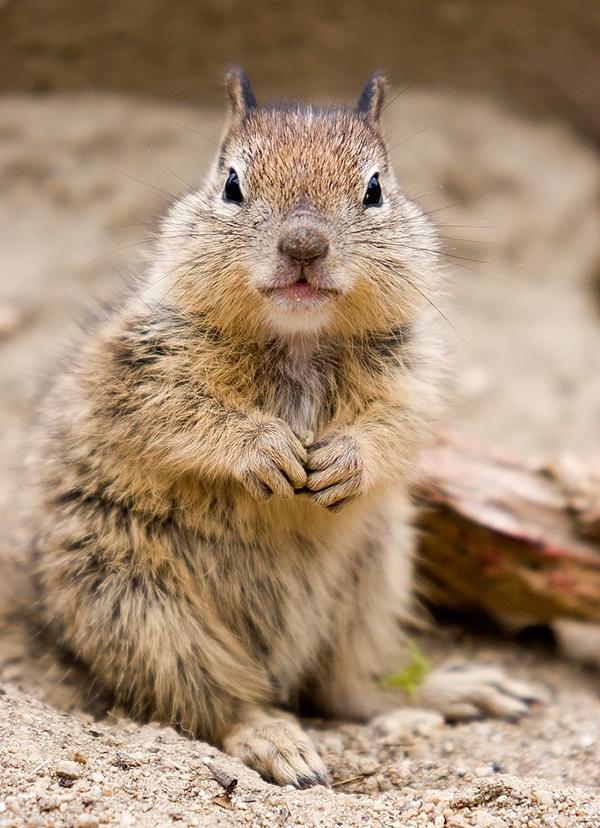 Monterery_squirrel01.jpg