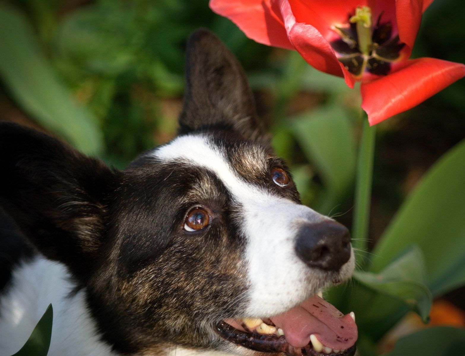 Jake's day in the wine country, amidst the tulips