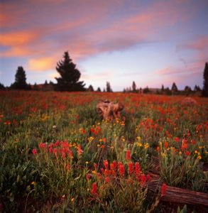 Indian Paintbrush at sunset