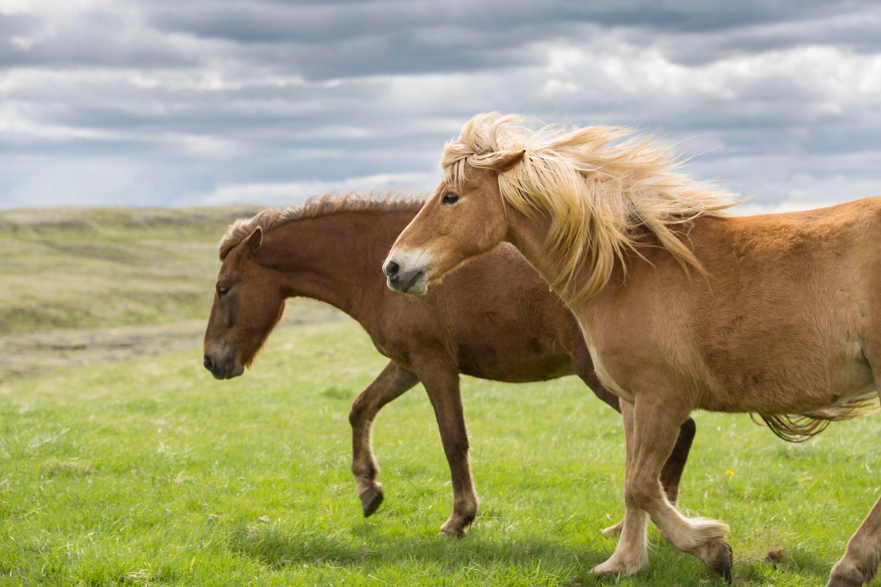 4_0_292_1islandic_horses_jeanine_thurston_1002.jpg