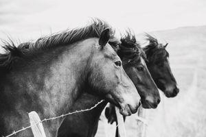 Islandic Horses_JEANINE THURSTON_1007BW.jpg