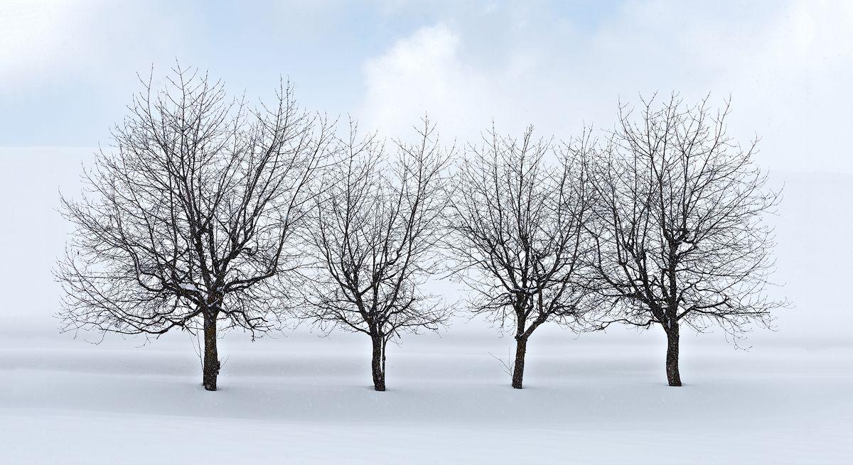 Hokkaido Cherry Trees