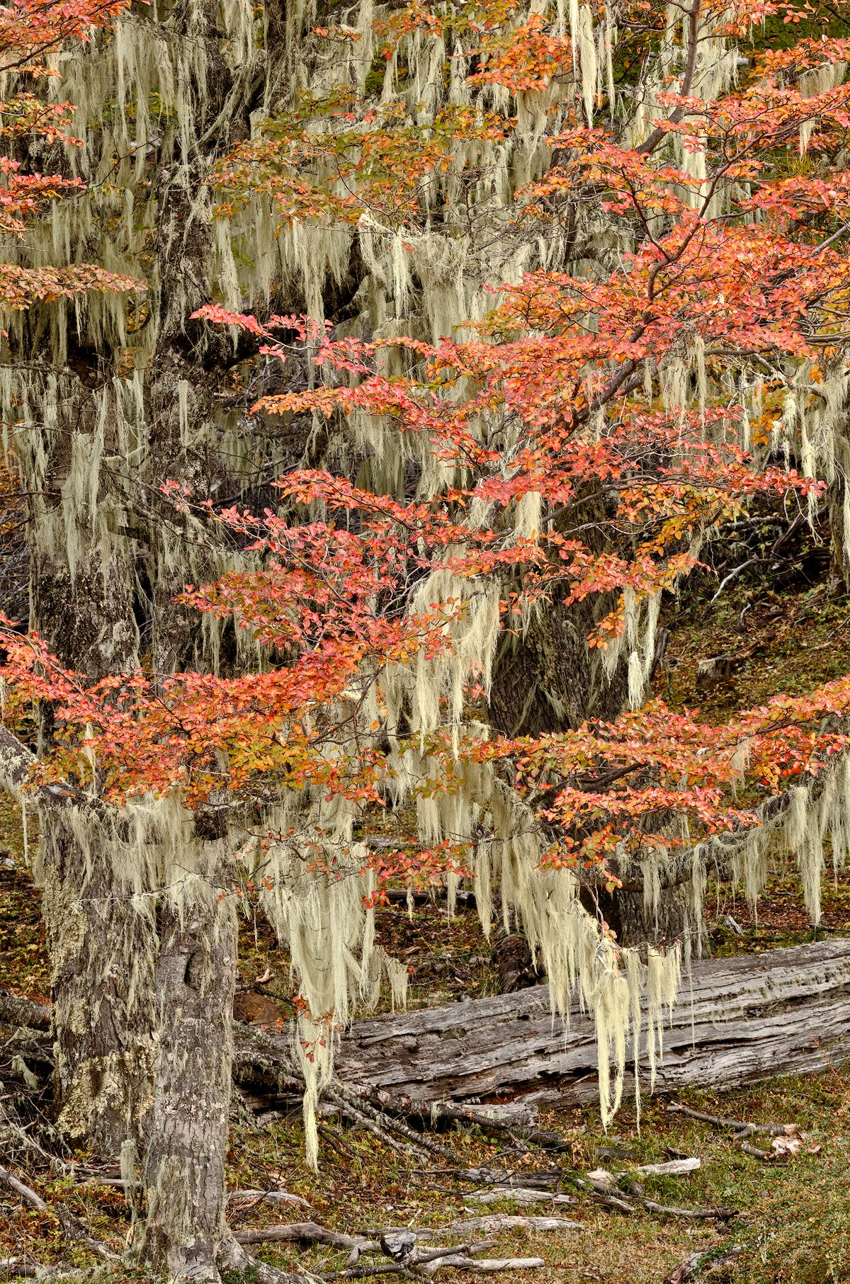 Moss Trees,  Furioso Forest  XI Region Chile