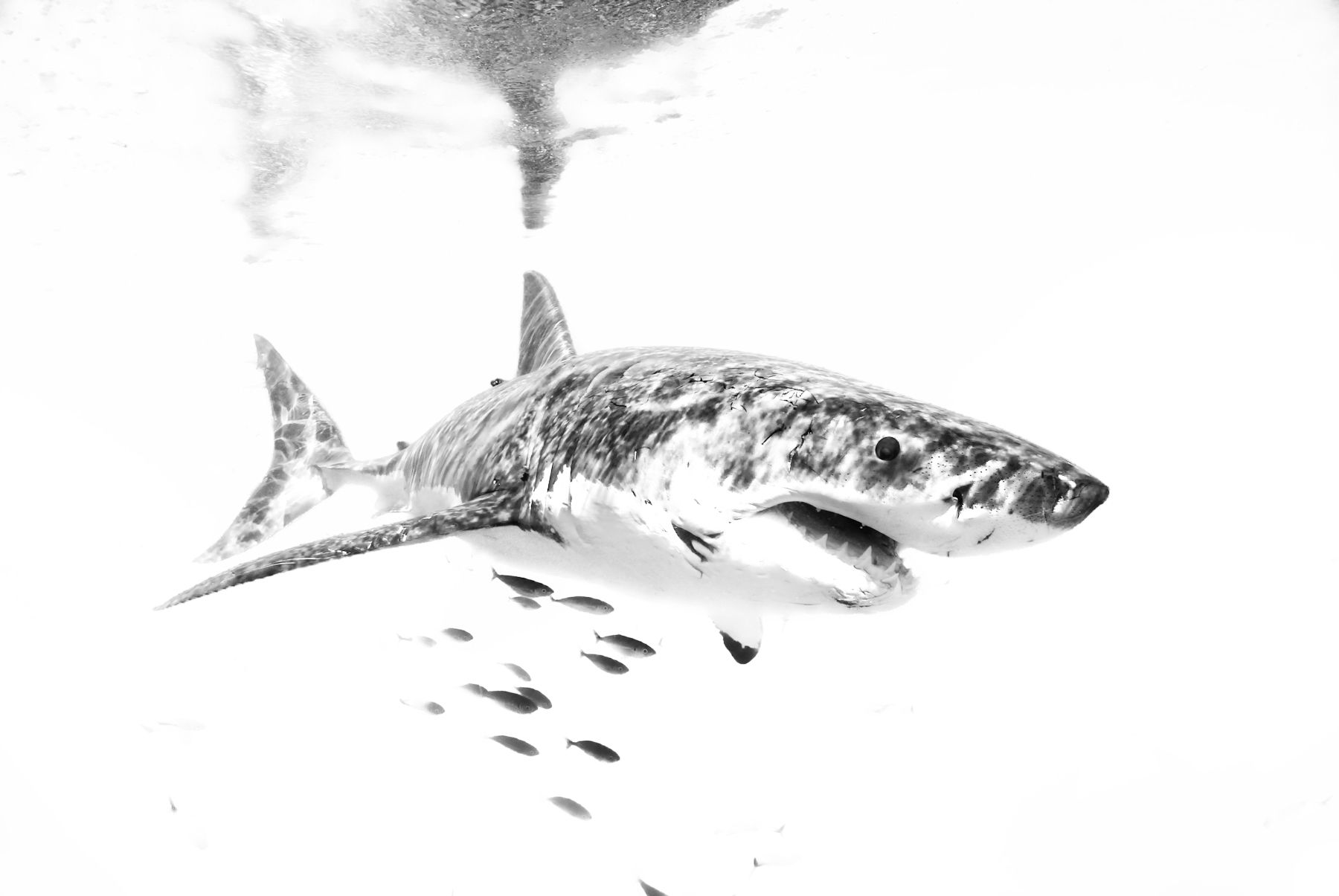 Great White in Black & White