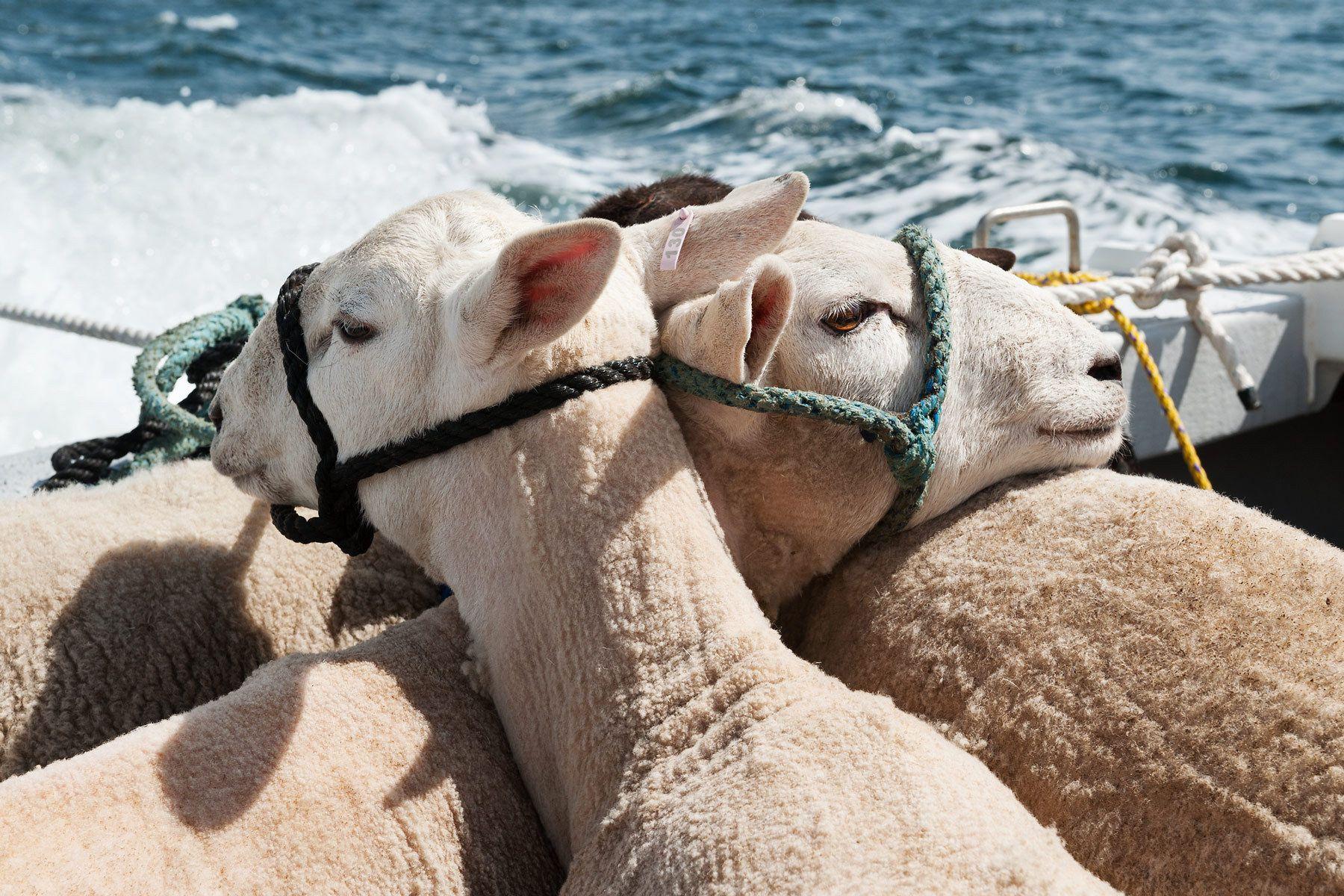1islandsheep_sheepboat.jpg
