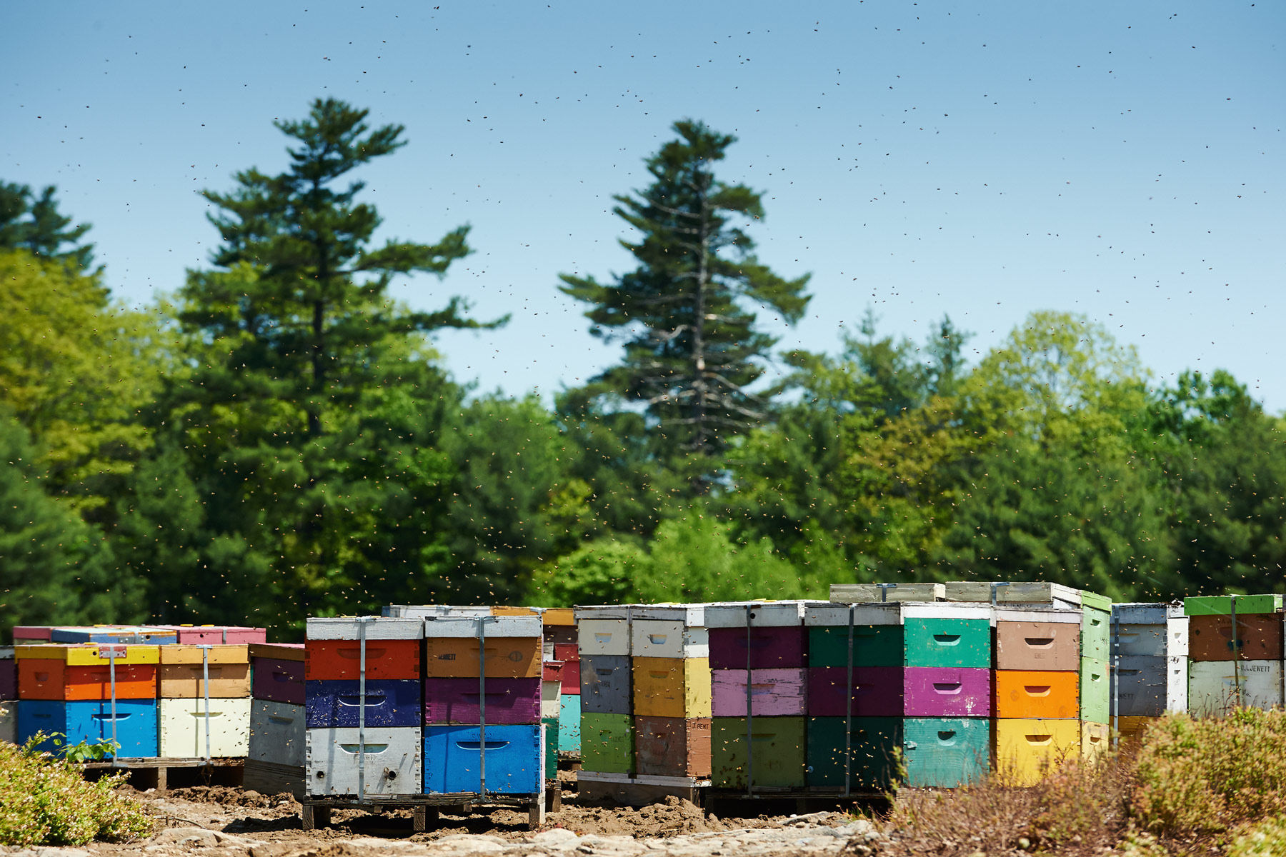 Honey bees at work in a Maine Blueberry Field.  © Russell French 2014