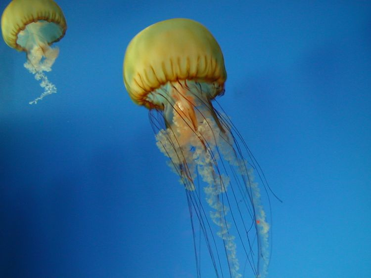 Jellyfish, California