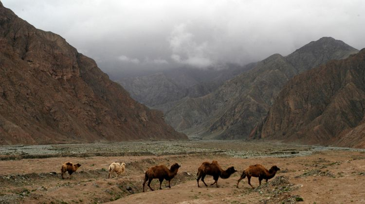 Camels, Kyrgyztan Border, China