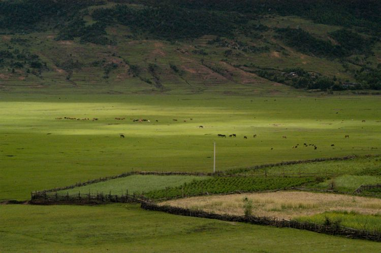 Grazing Herd, Tibet Border
