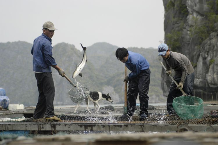 Fisherman, Halong Bay, Vietnam