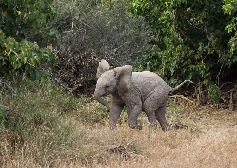 1img_8991_elephant_calf.jpg
