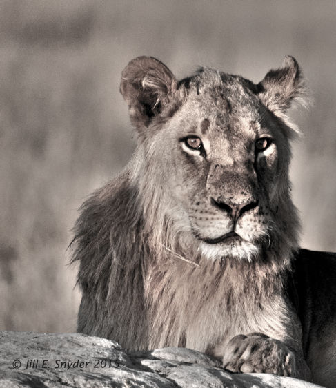 1hwange_lions_7_1_15_4t0g6761_mono_hdr.jpg