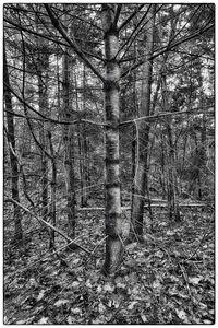 Lone Tree, Maine