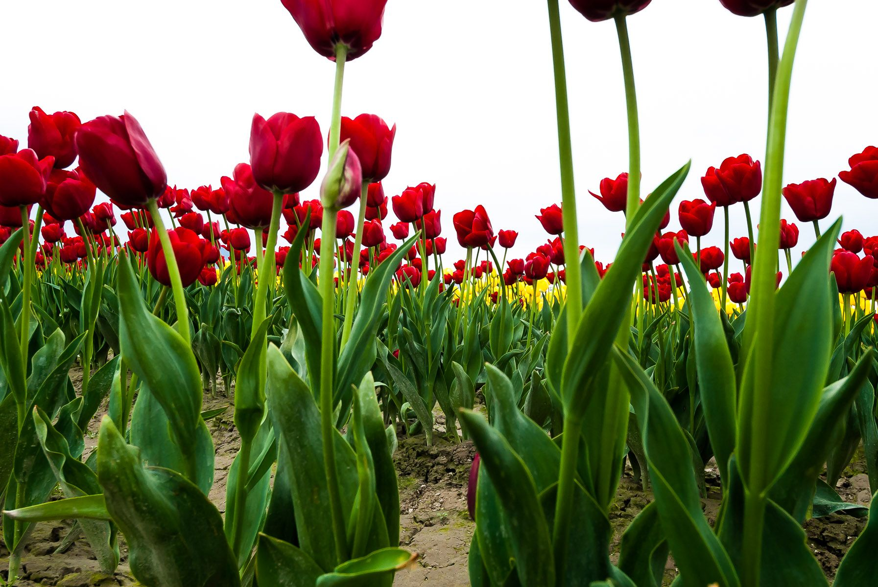 Tulip Festival  Washington, USA