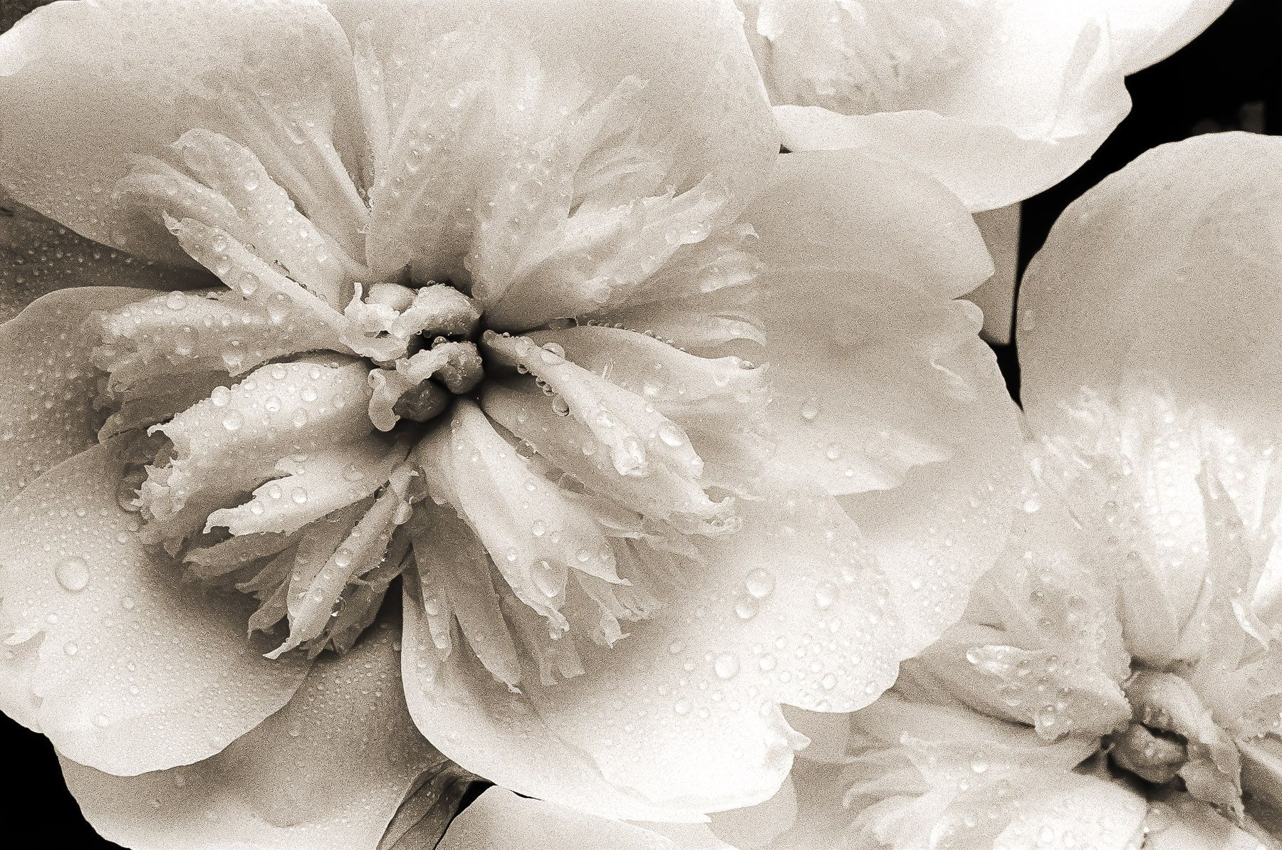 Peonies and Water Droplets