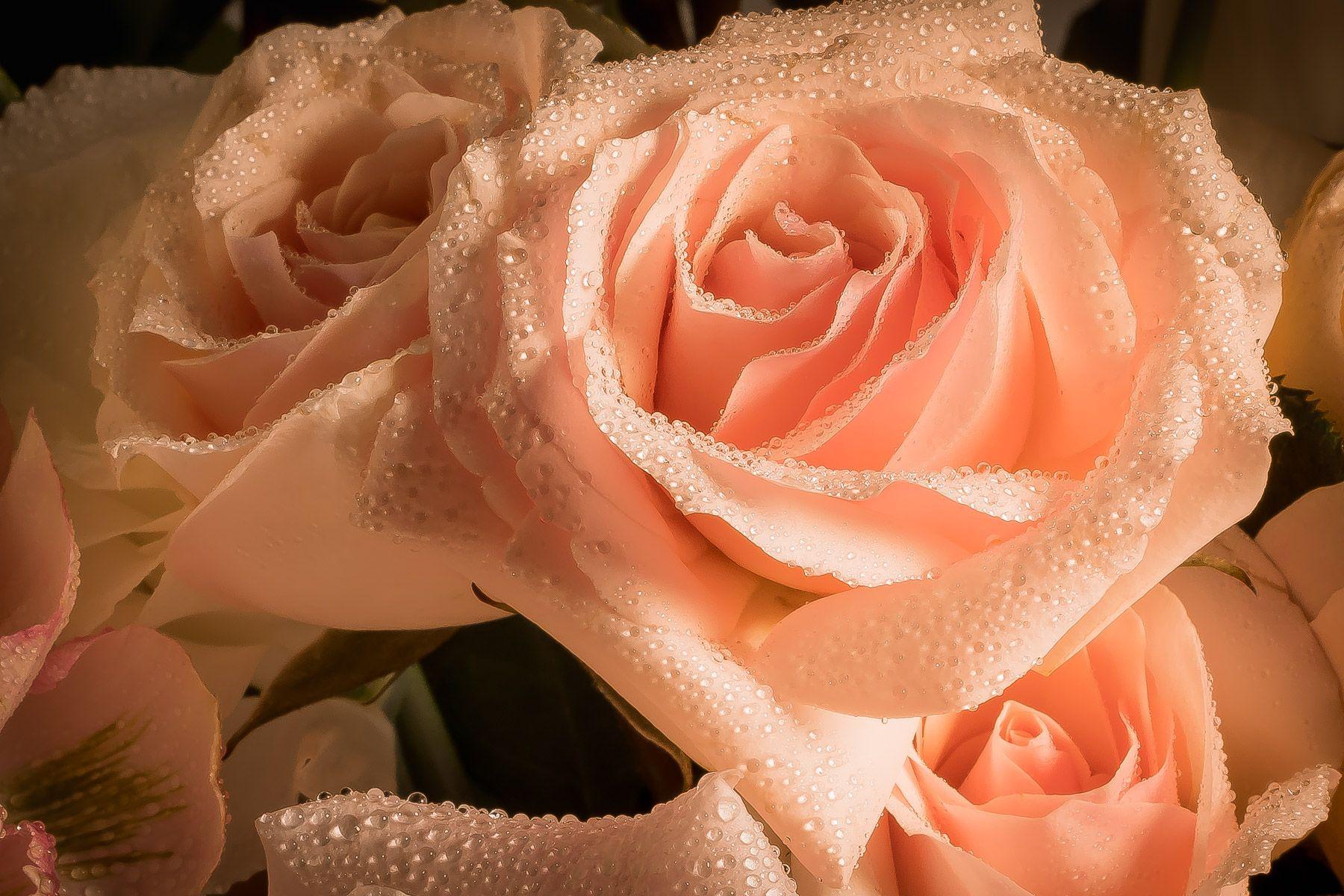A Valentine's Rose