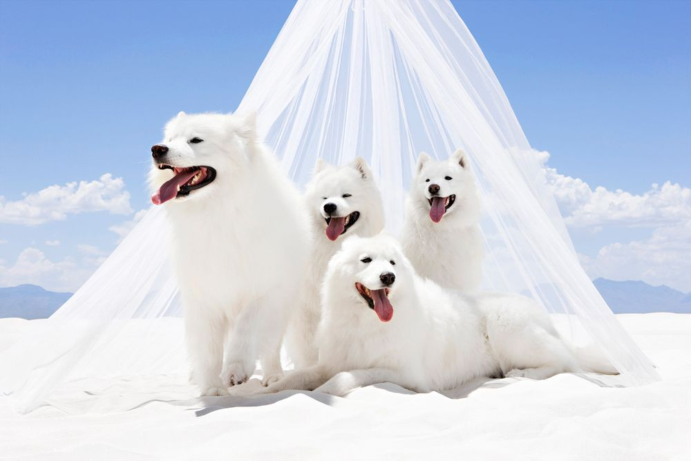 White Sands with White Dogs