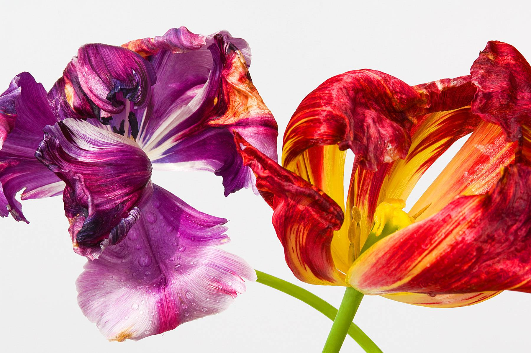174_1wilted_tulips_website.jpg