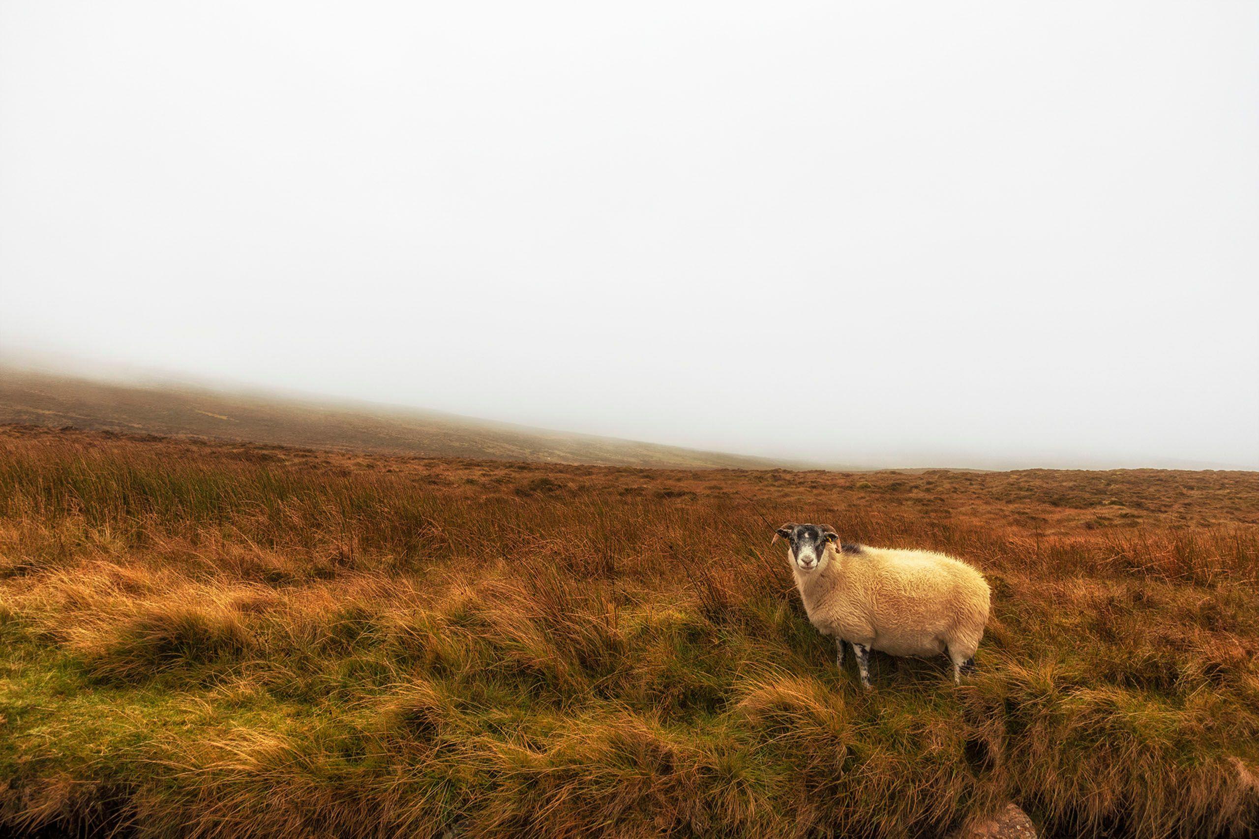 Sheep Portrait.jpg