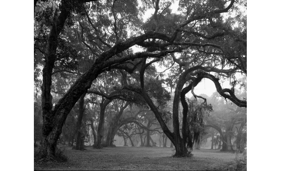 Live Oaks on Sapelo Island, Georgia