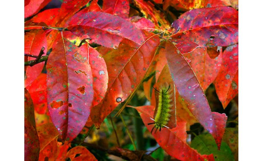 1leaves_caterpillarlb.jpg