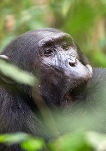 1chimpanzee_trekking_uganda_270216_10_web.jpg