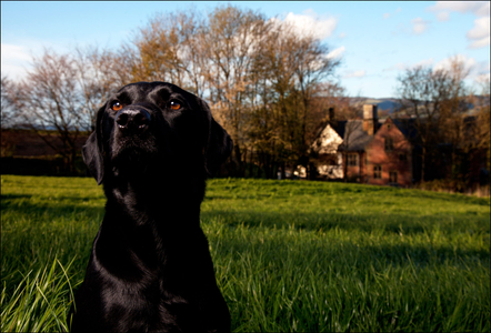 'Boots' the Black Lab