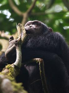1chimpanzee_trekking_uganda_270216_27_web.jpg