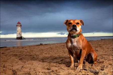 'Skye' The Staffordshire Bull Terrier
