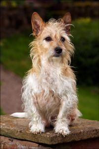 'Milo' the Jack Russell Terrier