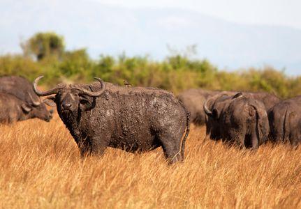 1water_buffalo_uganda_280216_10_web.jpg