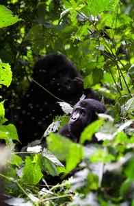 1gorillas_uganda_030316_07_web.jpg