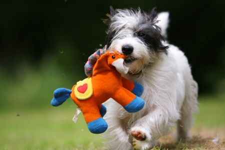 'Monty' Jack Russell Terrier