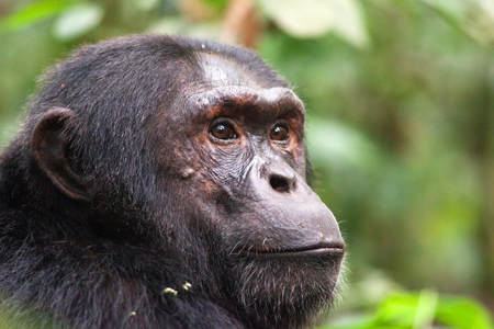 1chimpanzee_trekking_uganda_270216_02_web.jpg