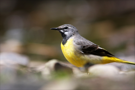Grey Wagtail hunting flies on a stream in North Wales.