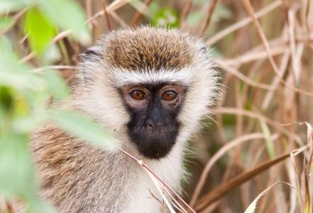 1velvet_monkey_uganda_280216_01_web.jpg