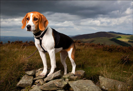 'Pip' The Beagle Hound,