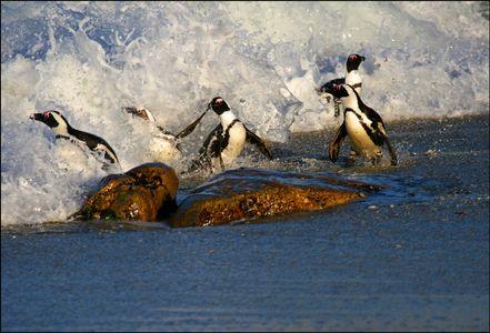 1south_africa_penguins_web.jpg