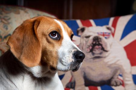 'Pip' Rescued Beagle Hound