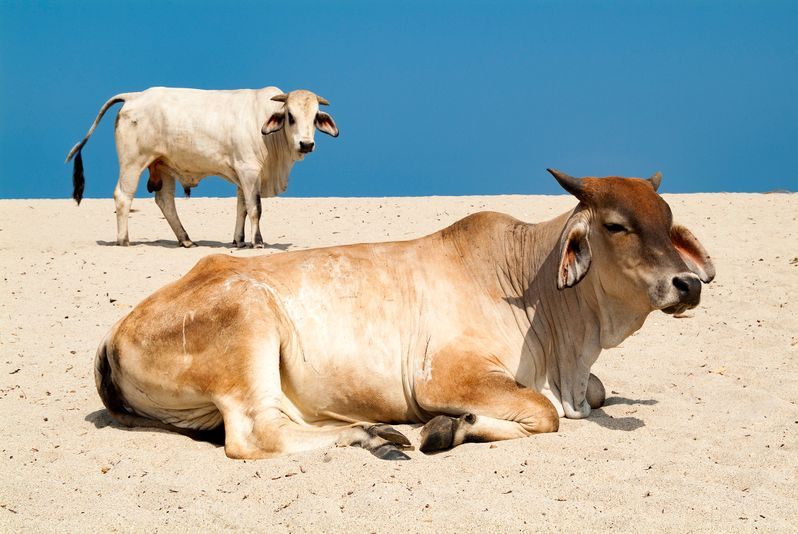Cattle on beach.jpg
