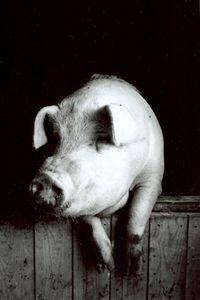 renzi-hawkens_pig.jpg