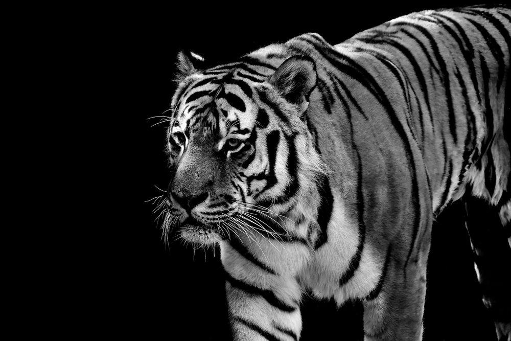 tiger-2611022.jpg