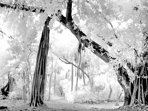Trees in infrared.