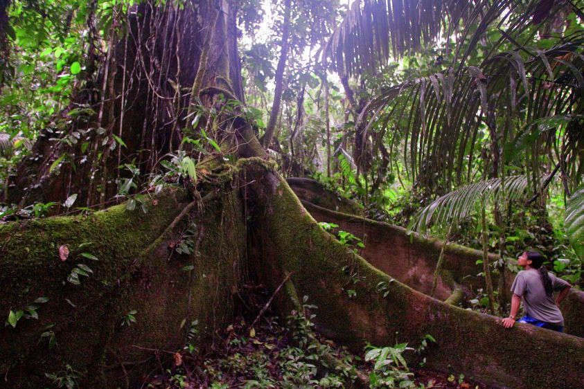 An Achuar guide looks at a giant Cebu tree in the rainforest near the village of Kapawi.