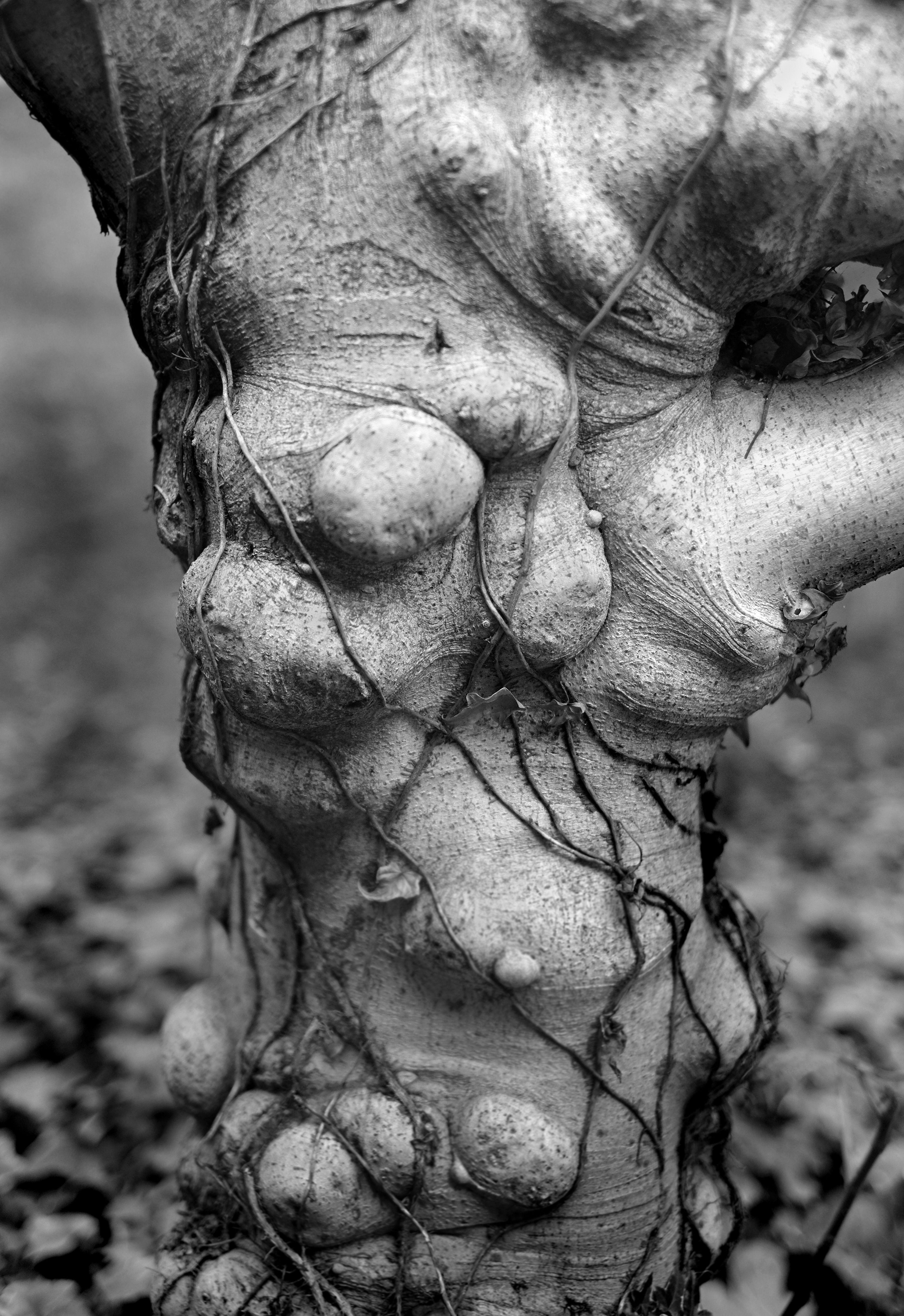 Aging Dryad ©2016 L. Aviva Diamond
