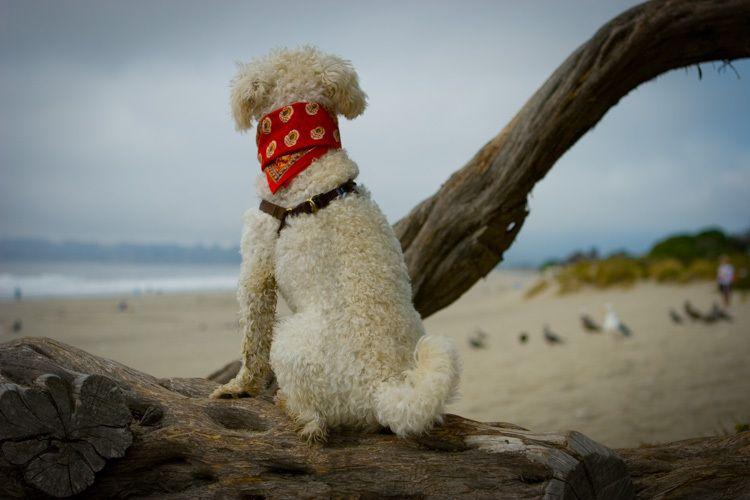 Ziggy, Stinson Beach, CA