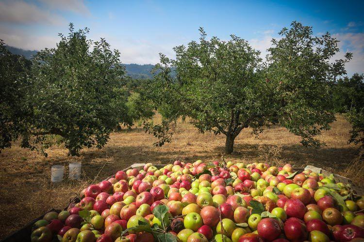 Gravenstein Orchard, Mendocino County, CA