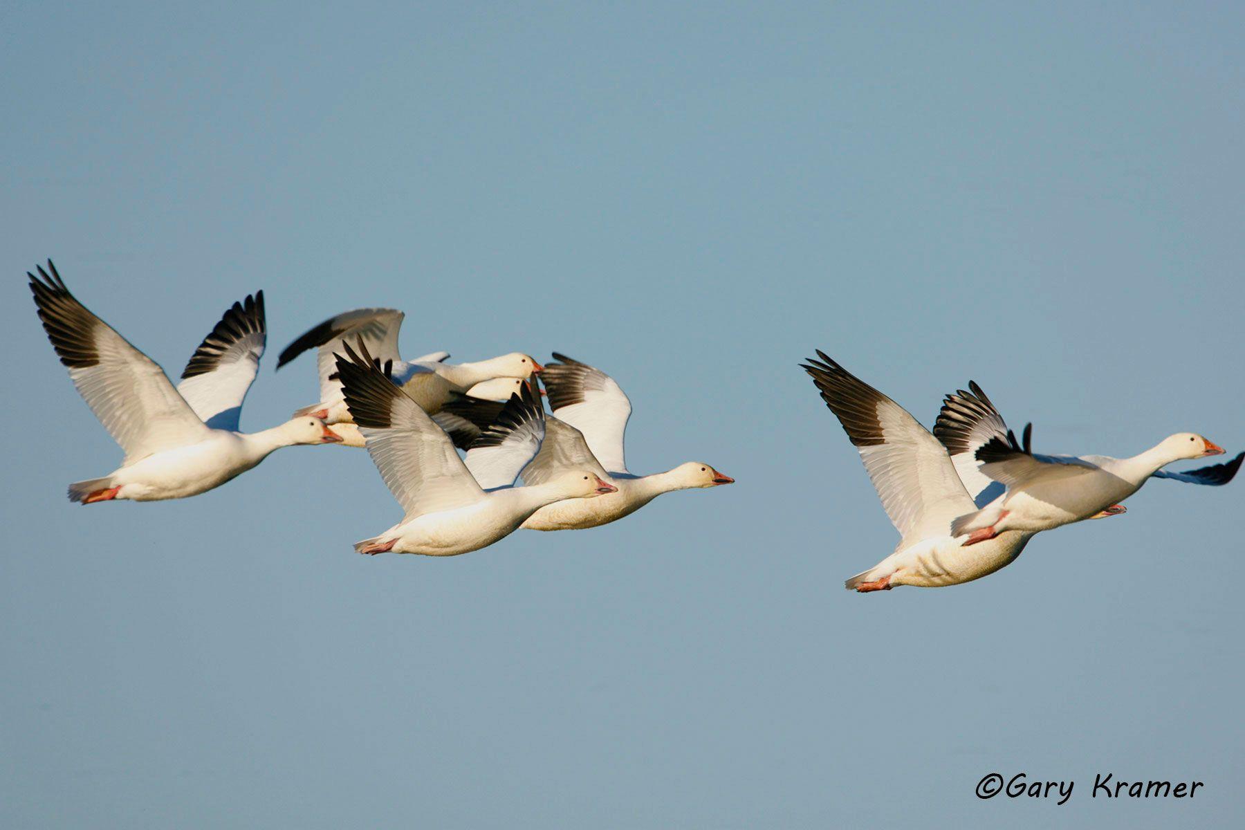Lesser Snow Goose (Chen caerulescens) - NBWSg#1018d